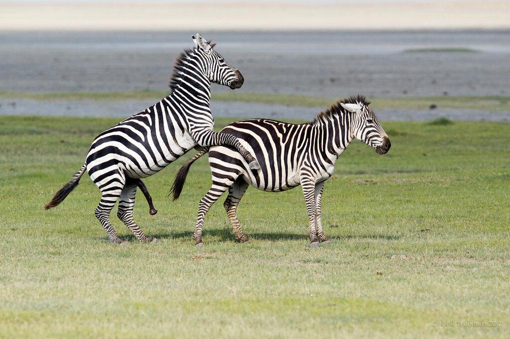 Секс зебры