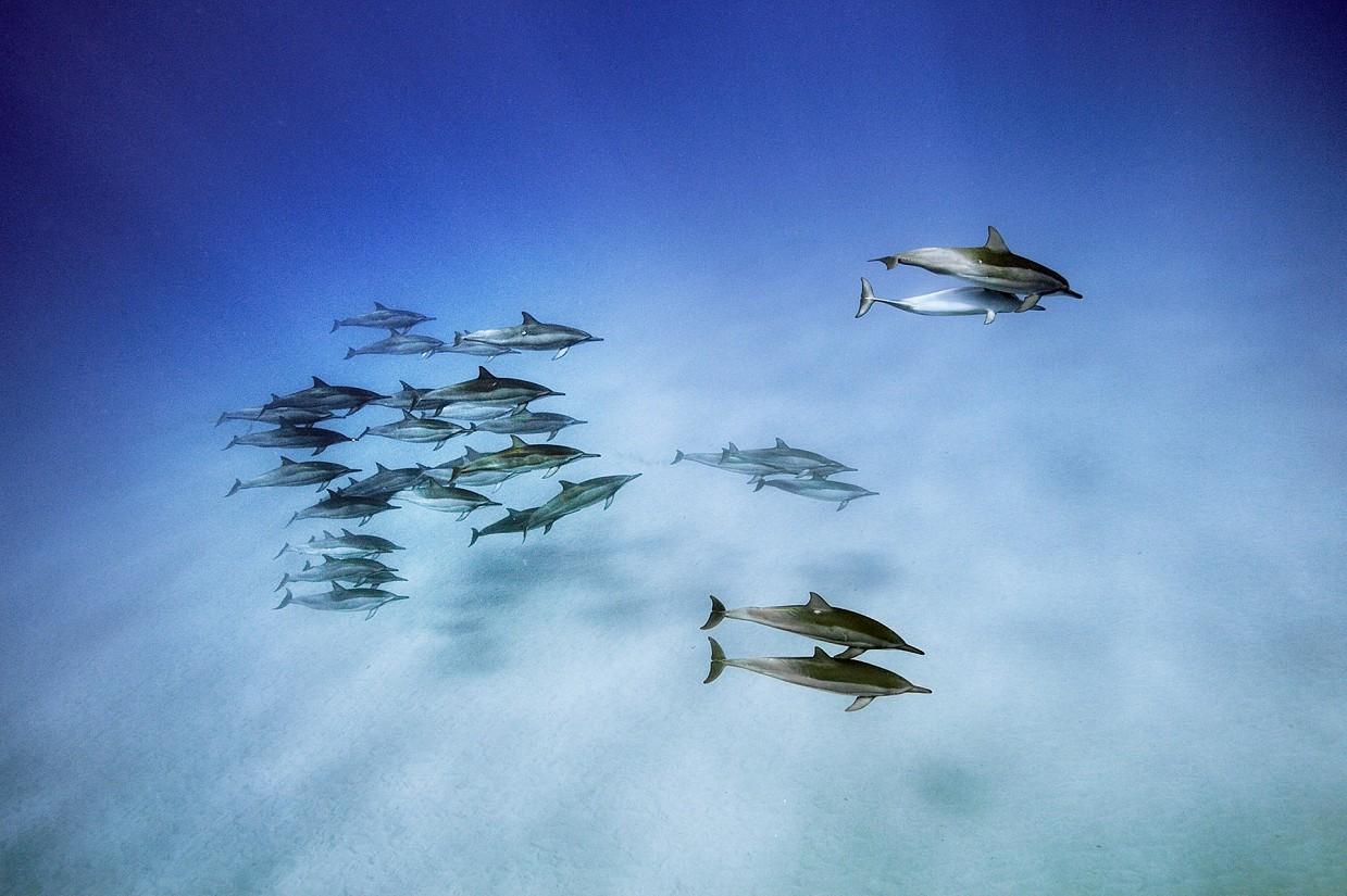 «Эти тропические дельфины питаются по ночам, уходя подальше от берега на большую глубину, а рано утр