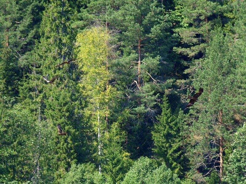коршуны и вороны на фоне леса