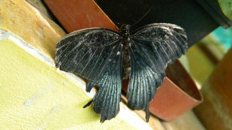 чёрная бабочка