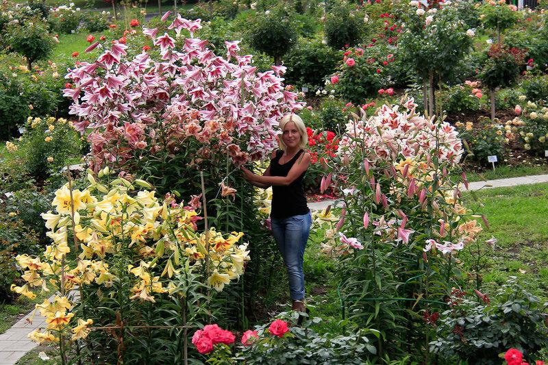 Лилии ОТ-гибриды в нашем цветнике!