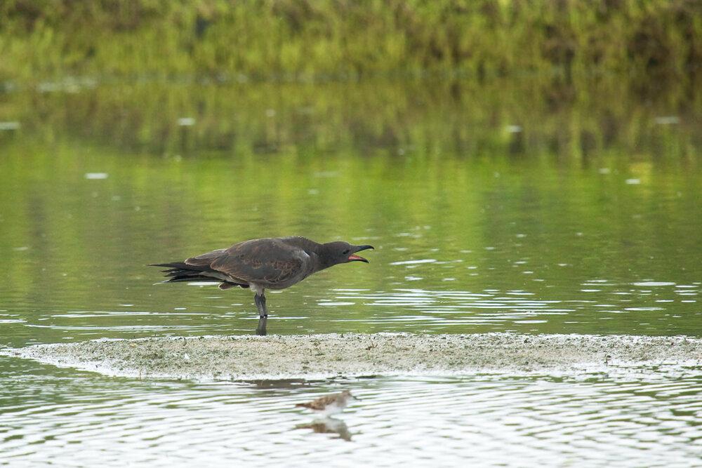 Тёмная чайка (Leucophaeus fuliginosus)