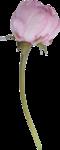 пионы (59).png