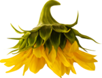 AD_Sunflower_summer_el (35).png