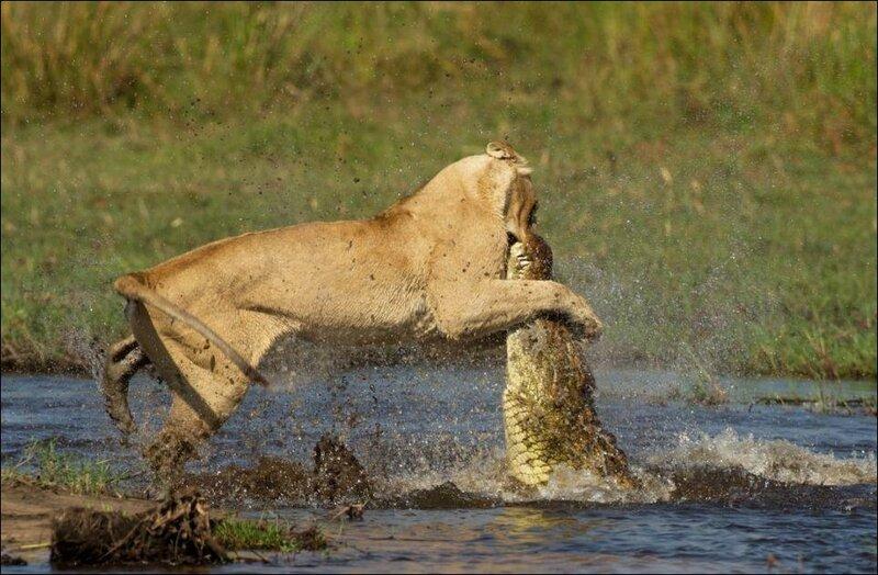 Схватка между львицей и крокодилом