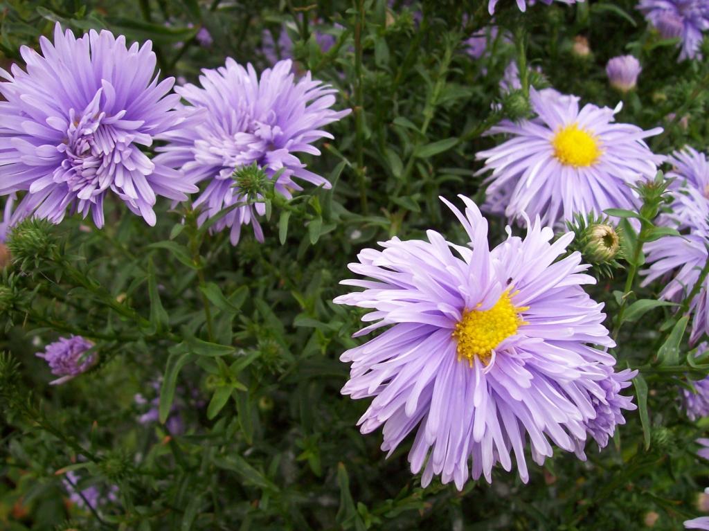 12 Многолетников для цветников, не требующие ухода - Многолетняя астра
