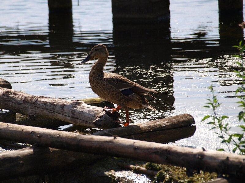Утка на брёвнах у слива Чистых прудов