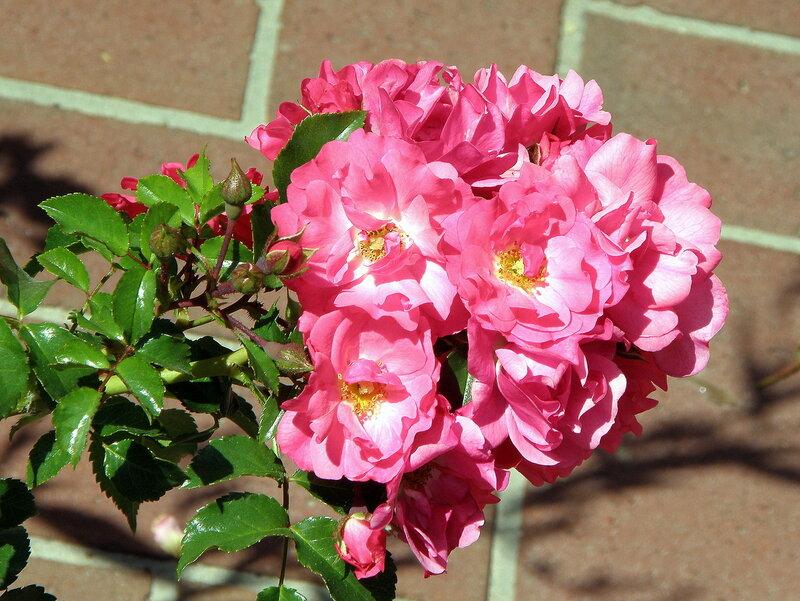 Вдыхая розы аромат...