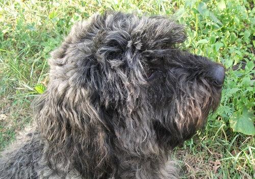 Недостриженный пес
