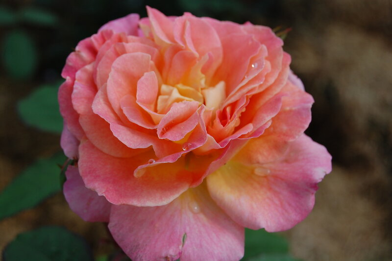 Роза Fiona Gelin