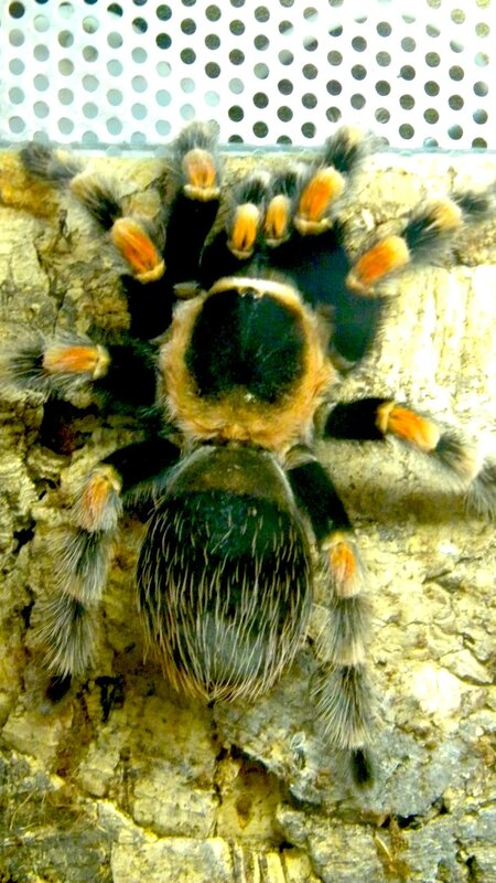 птицеед- паук