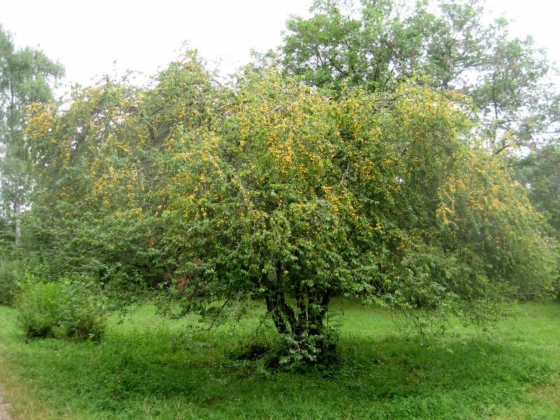 фото алыча дерево