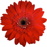 Red Gerbera.png