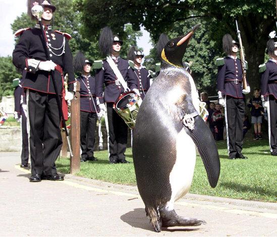 Пингвин Нильс Олаф второй посвящается в рыцари