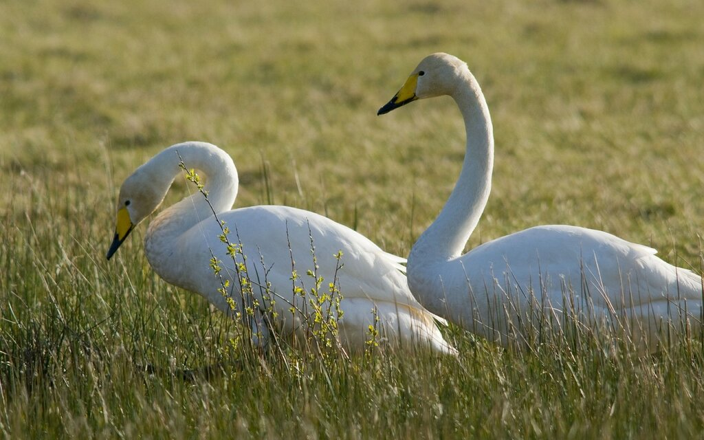 Two-Swans-Of-The-Tundra-1200x1920.jpg