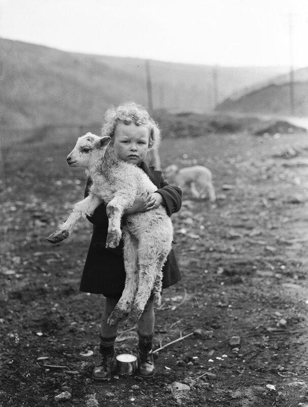 Wee Pet Lamb