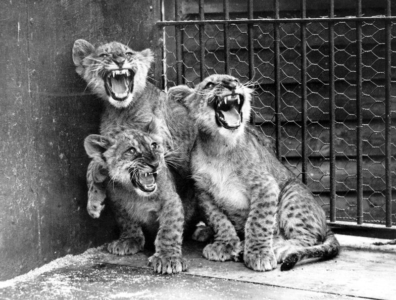 Angry Cubs