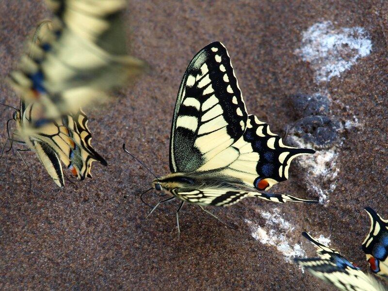 бабочки-махаоны Papilio machaon на песке пляжа на Моломе