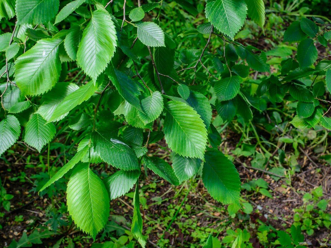 Вяз гладкий (Ulmus laevis)
