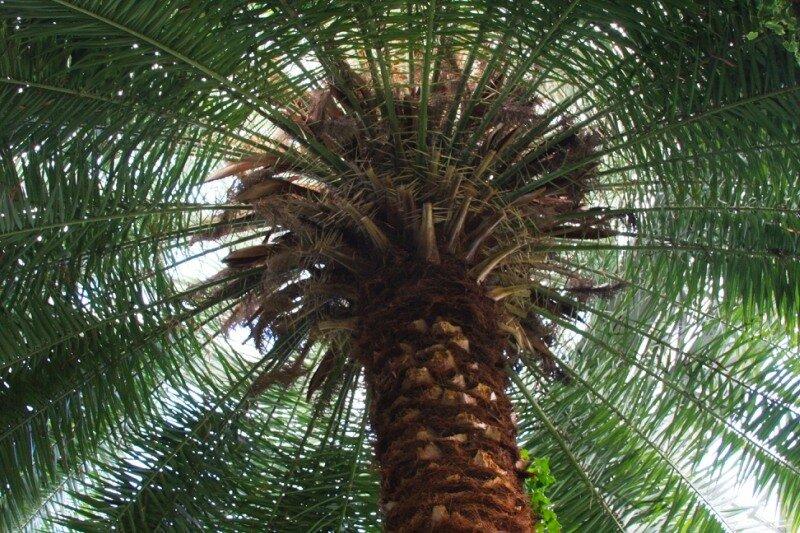 Большая пальма