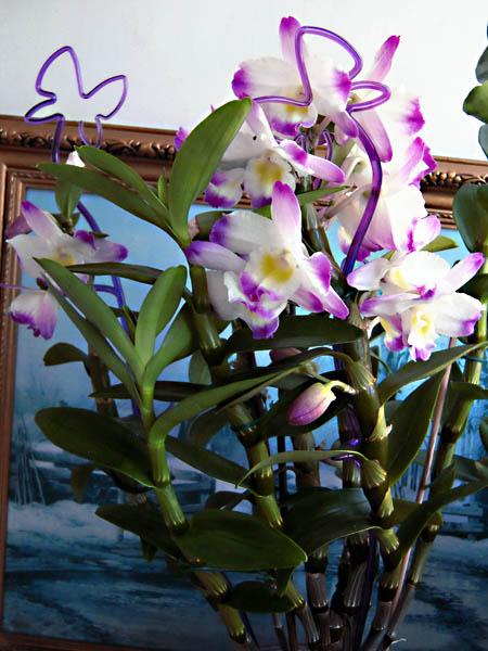Dendrobium 'Nobile'