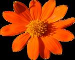 Orange Dahlia.png