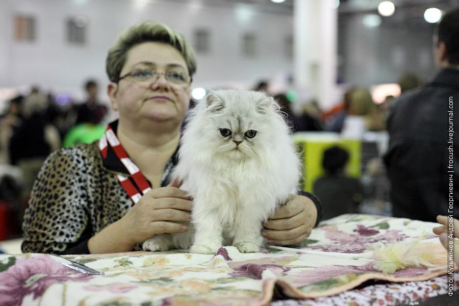 Перс фотографии выставка кошек
