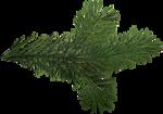 ial_slc_pine_branch.png