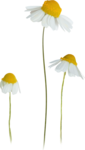 NLD Daisies.png