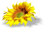 AD_Sunflower_summer_el (30).png