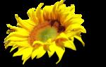 AD_Sunflower_summer_el (30).png