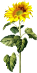 AD_Sunflower_summer_el (39).png
