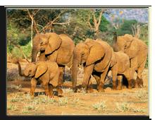 Кения. African Elephant (Loxodonta africana) herd, Samboro National Reserve, Kenya, Africa. Фото  dndavis - Depositphotos