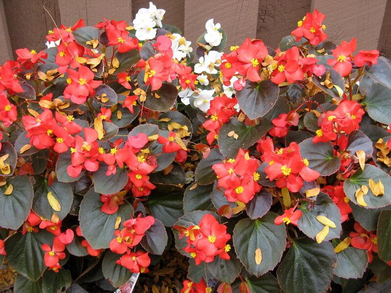 Цветы бегония картинки 4