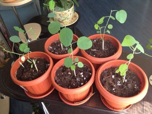 Как сажать пассифлору из семян в домашних условиях 37