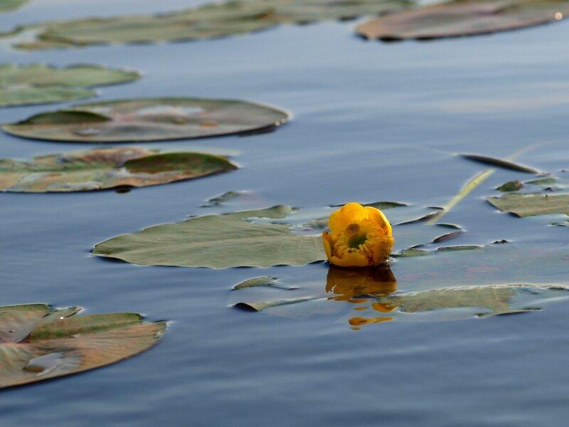 Кубышка жёлтая (Nuphar lutea) в воде протоки Куприха