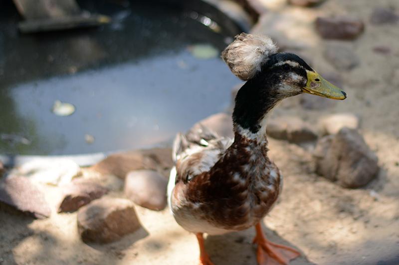 хохлатая утка