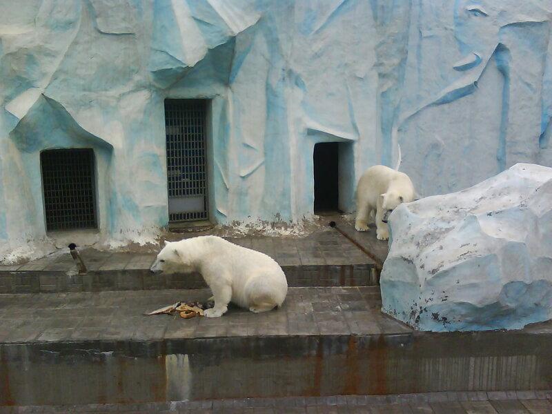 Белый мишка в Новосибирком зоопарке