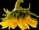 «AD_Sunflower_summer»  0_8c798_9f315eed_S