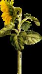 «AD_Sunflower_summer»  0_8c79b_51949a0e_S