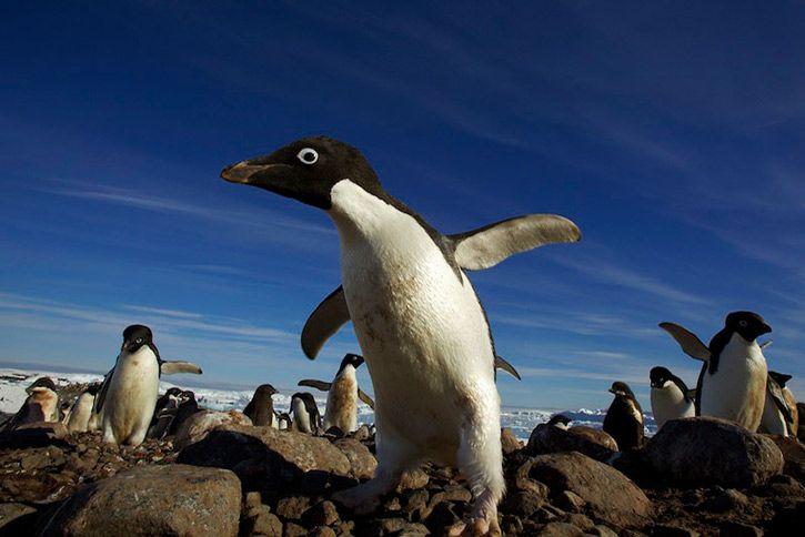 Пингвины и льды от Tim Laman