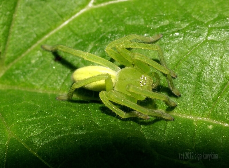 Микроммата зеленая (Micrommata virescens)