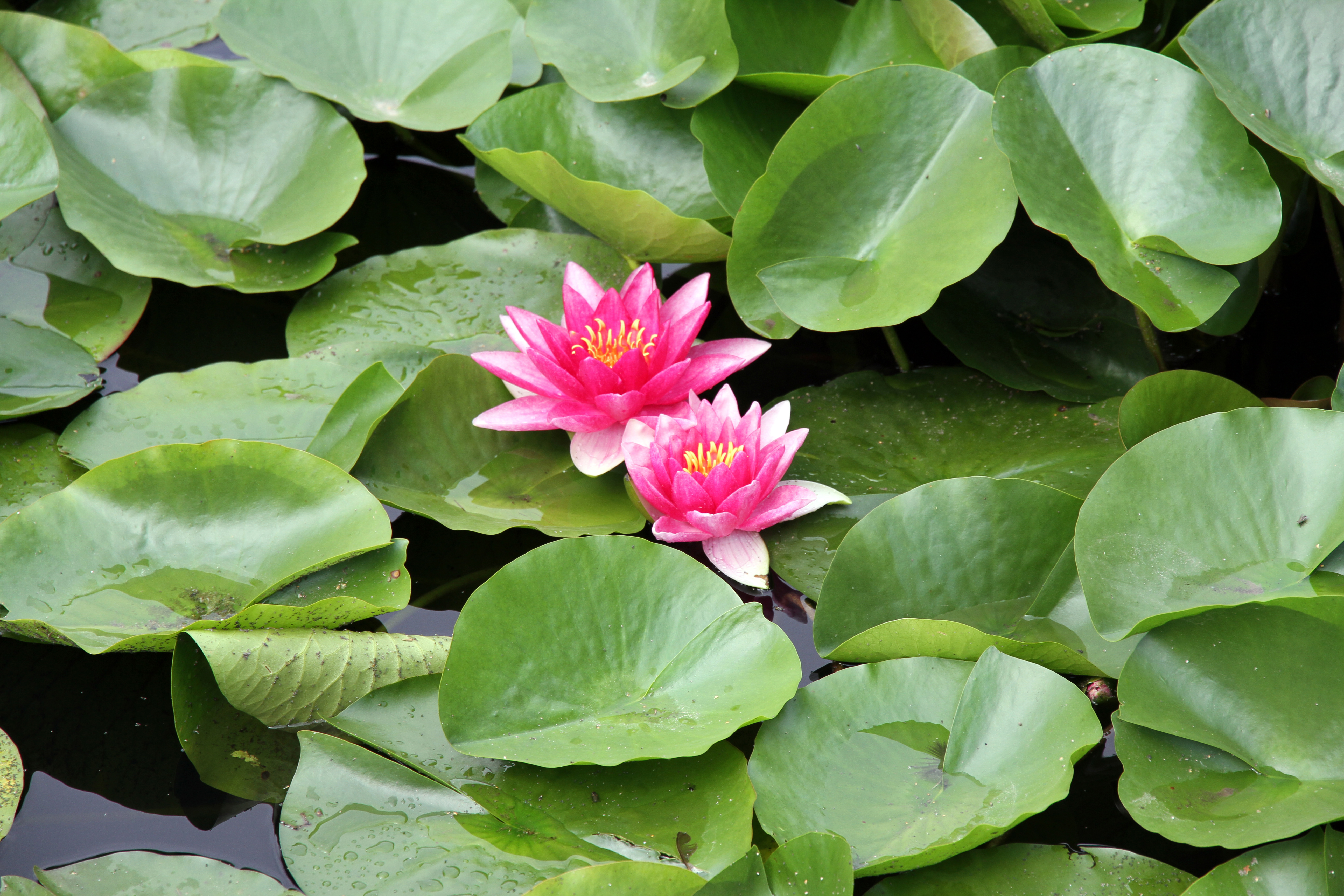 1000  images about Lotus Ponds on Pinterest | Water pond, The mud ...