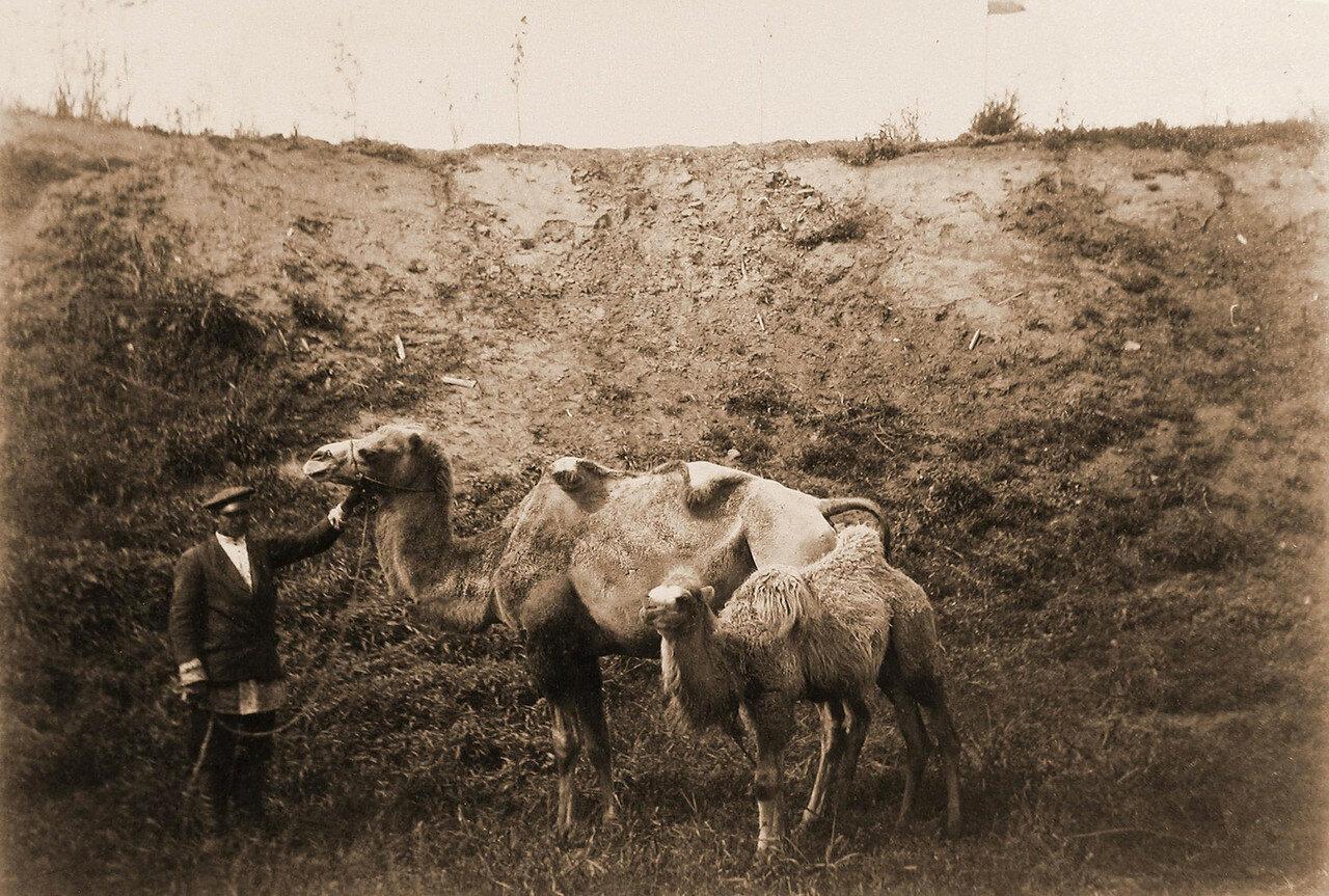50. Верблюд (самка) торгового дома П. А. Бадмаев и К.