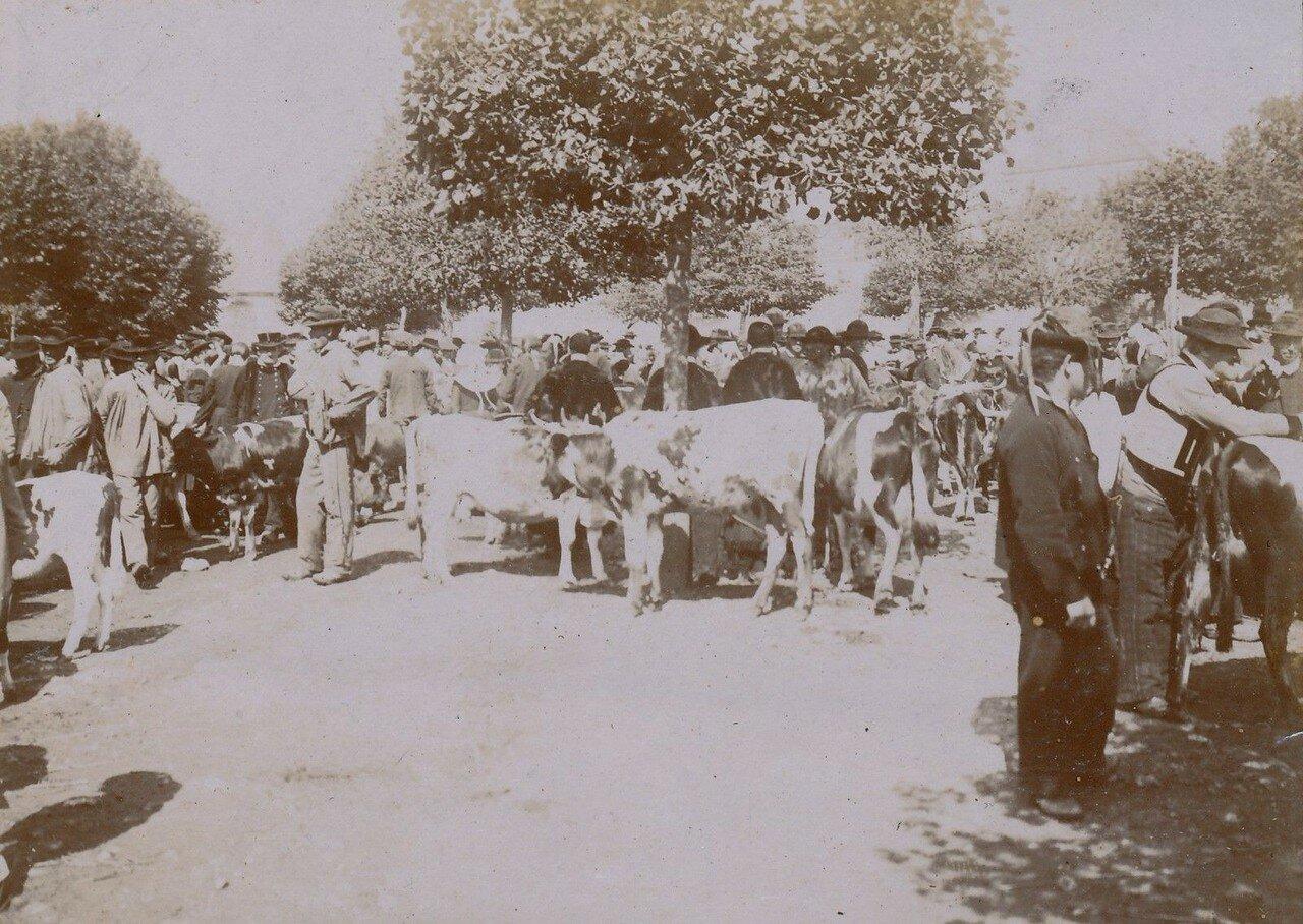 1900. Кемпер. Торговля коровами на местном рынке