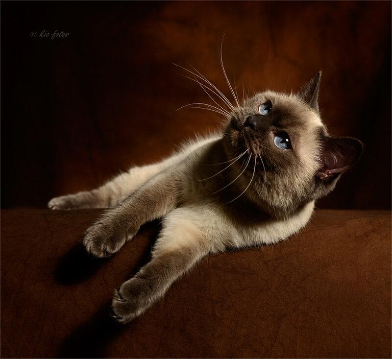 Красивые кошки от kio katzenfotos