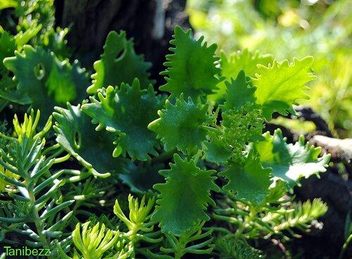 Очиток (очитник) Тополелистный / Sedum (hylotelephium) Populifolium