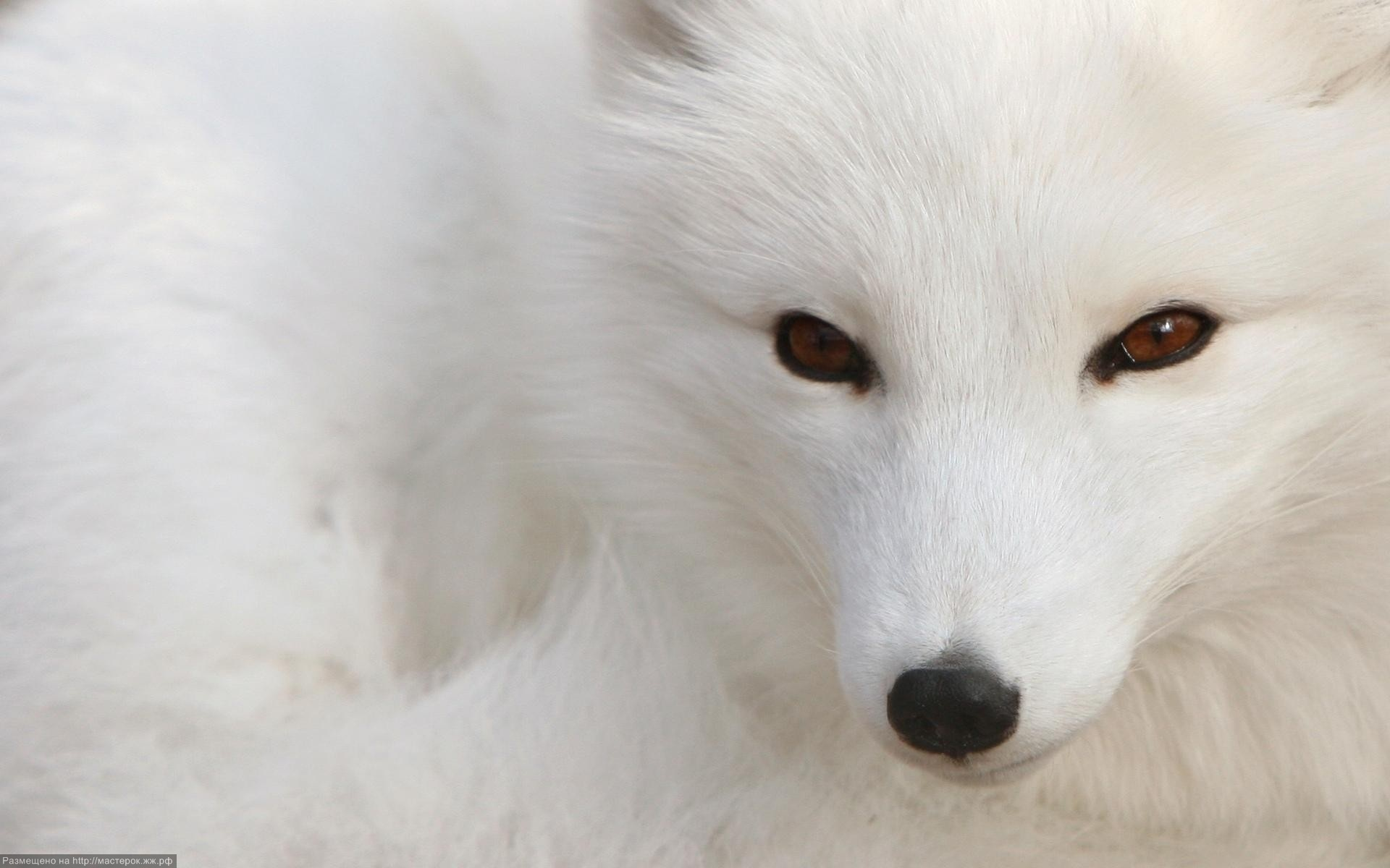 black wallpapers eyes arctic white background fox brown looking desktops camera 1920x1200