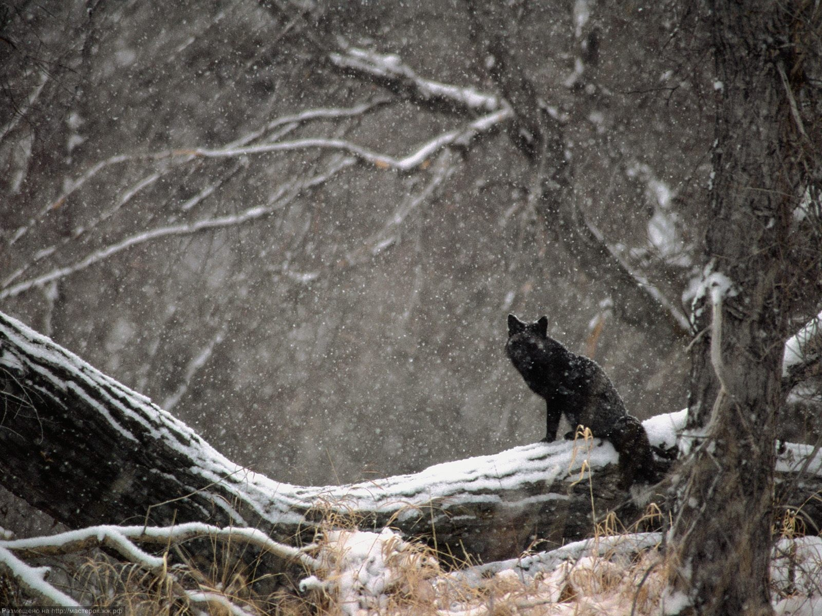 IN-THE-SEASONAL-FOREST-SNOW-STORM-A-BLACK-FOX