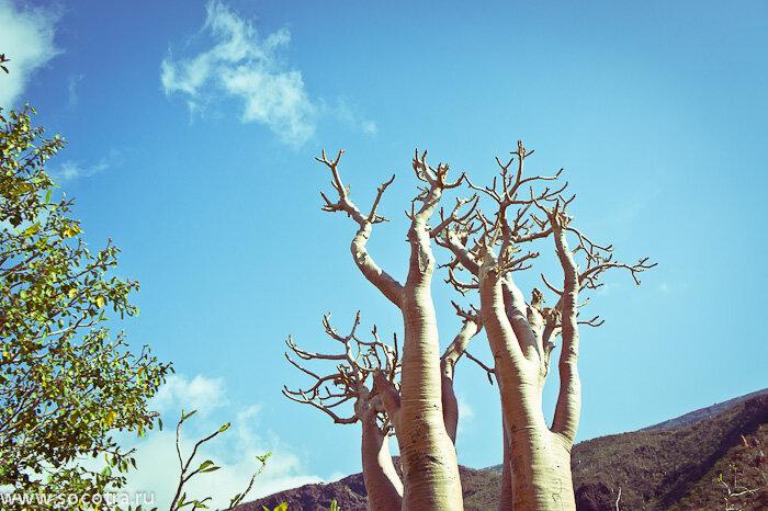 Фотографии Сокотры, пейзаж, уникальные деревья
